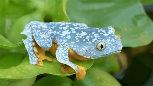 The Fringed Leaf Frog