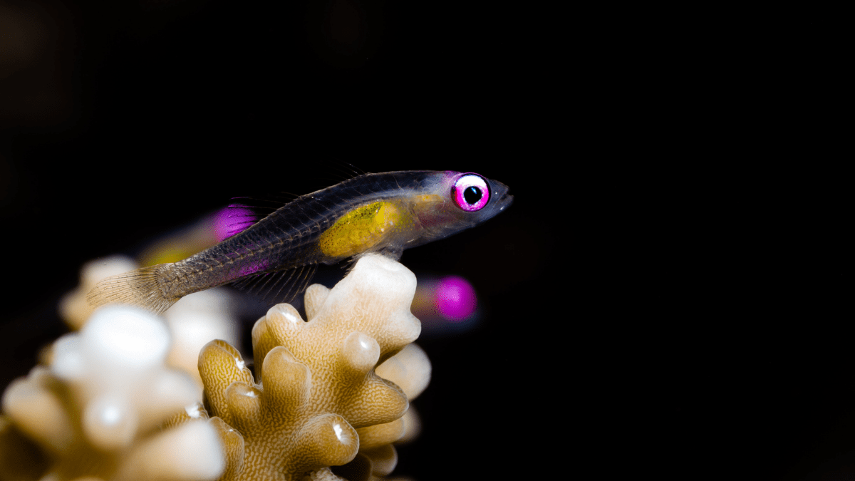 The pink-eyed hover goby