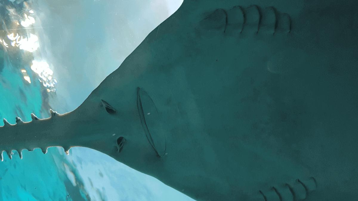 underside of sawfish