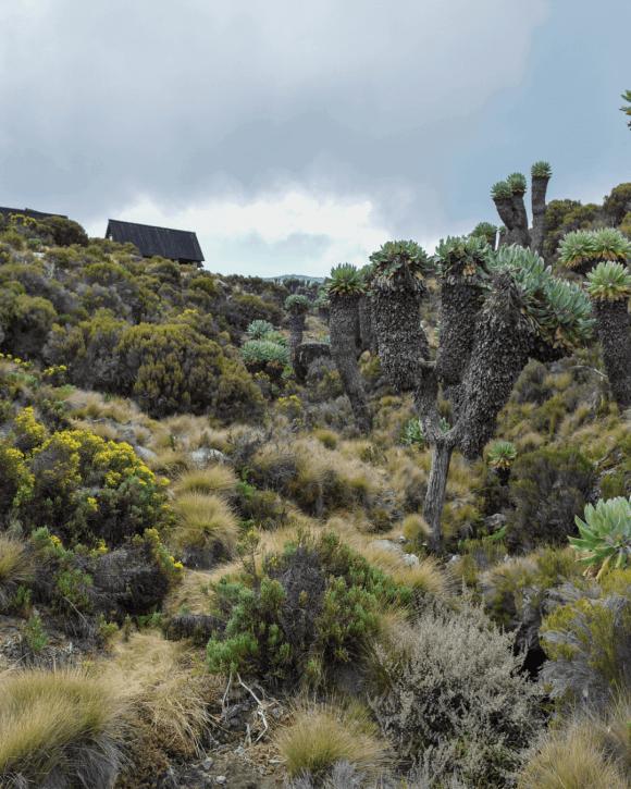 Giant Groundsels of Mt Kilimanjaro