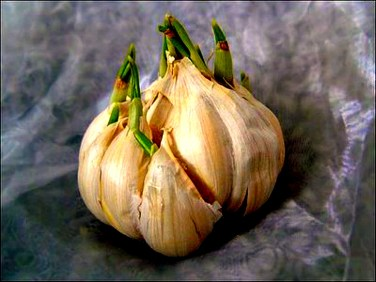 Store garlic at room temperature. If there is green sprigs coming out of it. Then toss out as it, means it is too old.