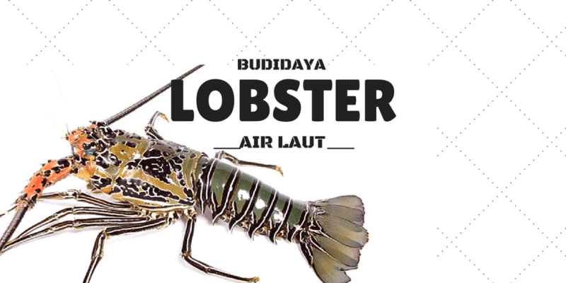 budidaya lobster air laut