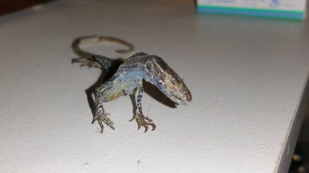 lizard, dinosaur, dried lizard
