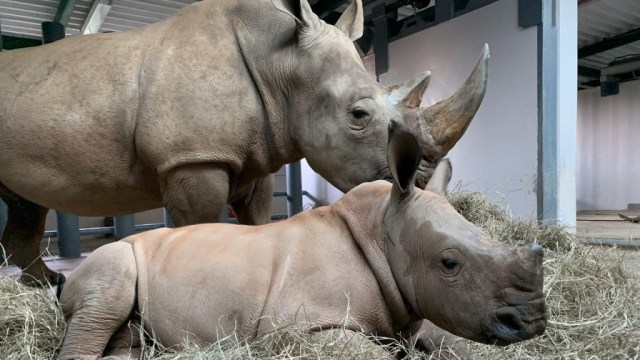 baby rhino animal kingdom