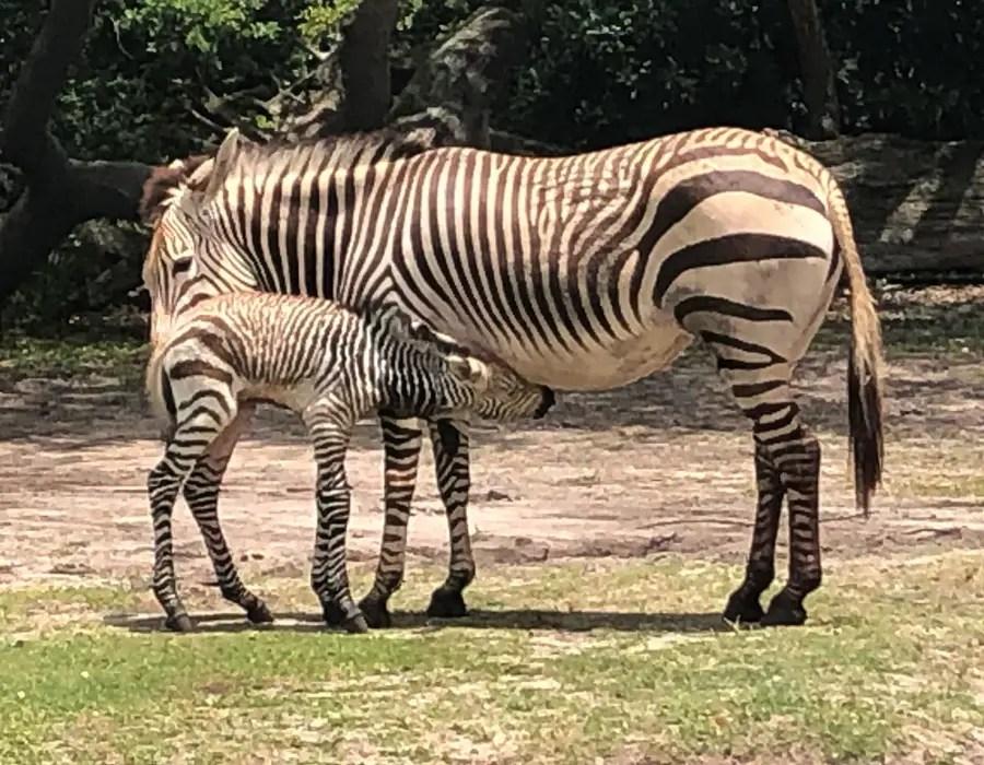 Baby Hartmann's Mountain Zebra Born At Kilimanjaro Safari!