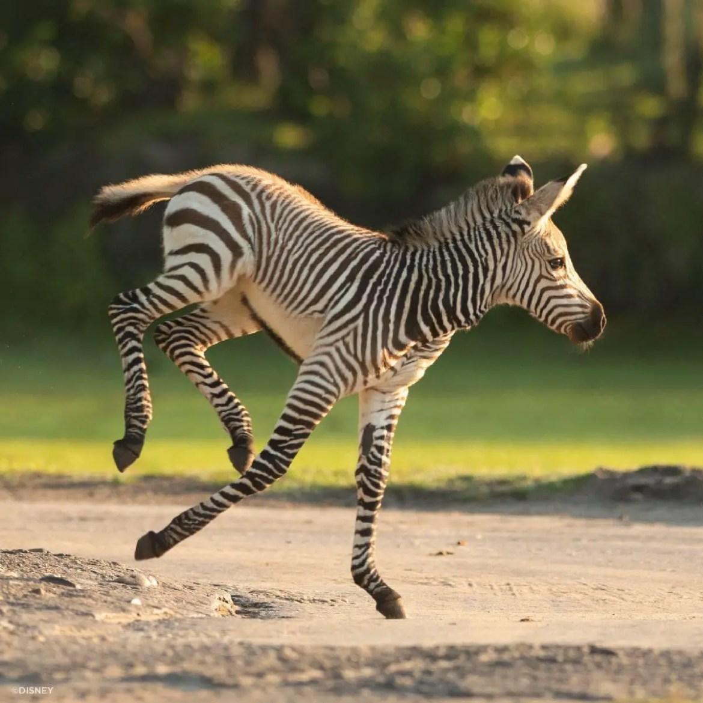 Meet Dash: The Newest Baby Zebra At Animal Kingdom!