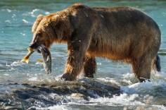 Disneynature Bears Fishing For Salmon