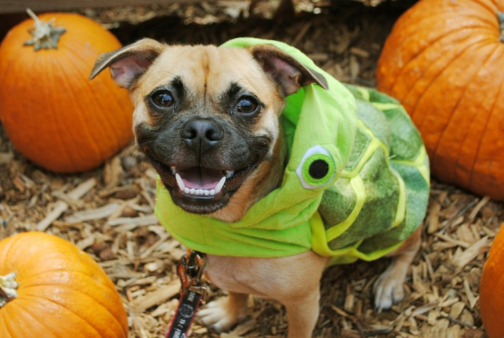 Disney Halloween Pet Costumes Crush Finding Nemo