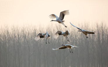 Disneynature Born In China Cranes