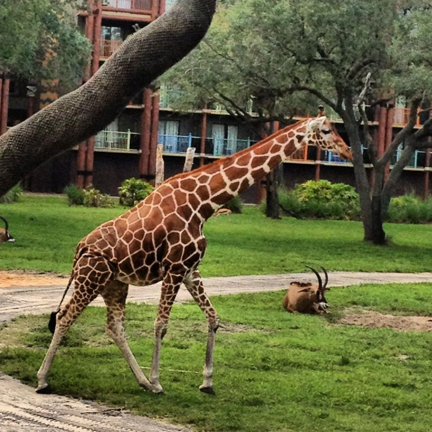 giraffe-at-Disneys-Animal-Kingdom-Lodge