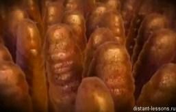 микроворсинки кишечника