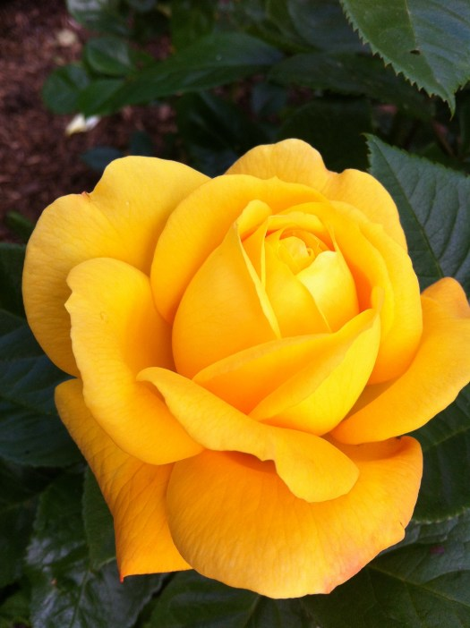 Park Square yellow rose