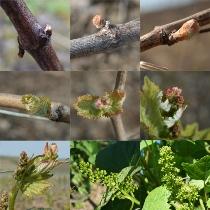 Du-bourgeon-a-la-fleur-de-vigne