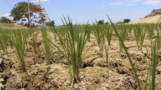 La producción de cereales en España desciende por la sequía