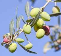 España perderá 600.000 toneladas de aceite de oliva