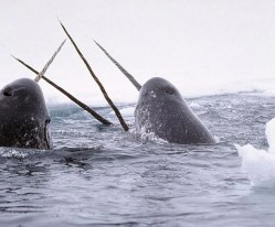 narwhal4