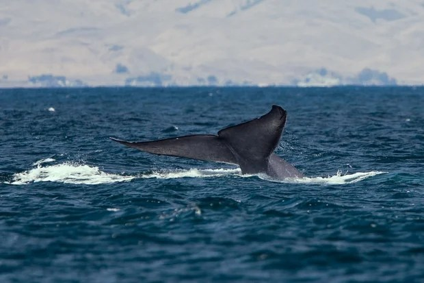Bluewhalesiceland