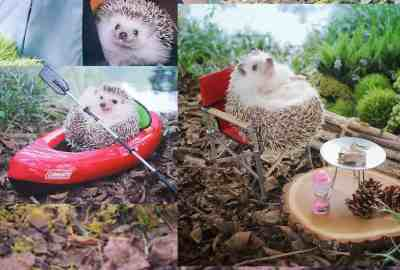 tiny hedgehog article