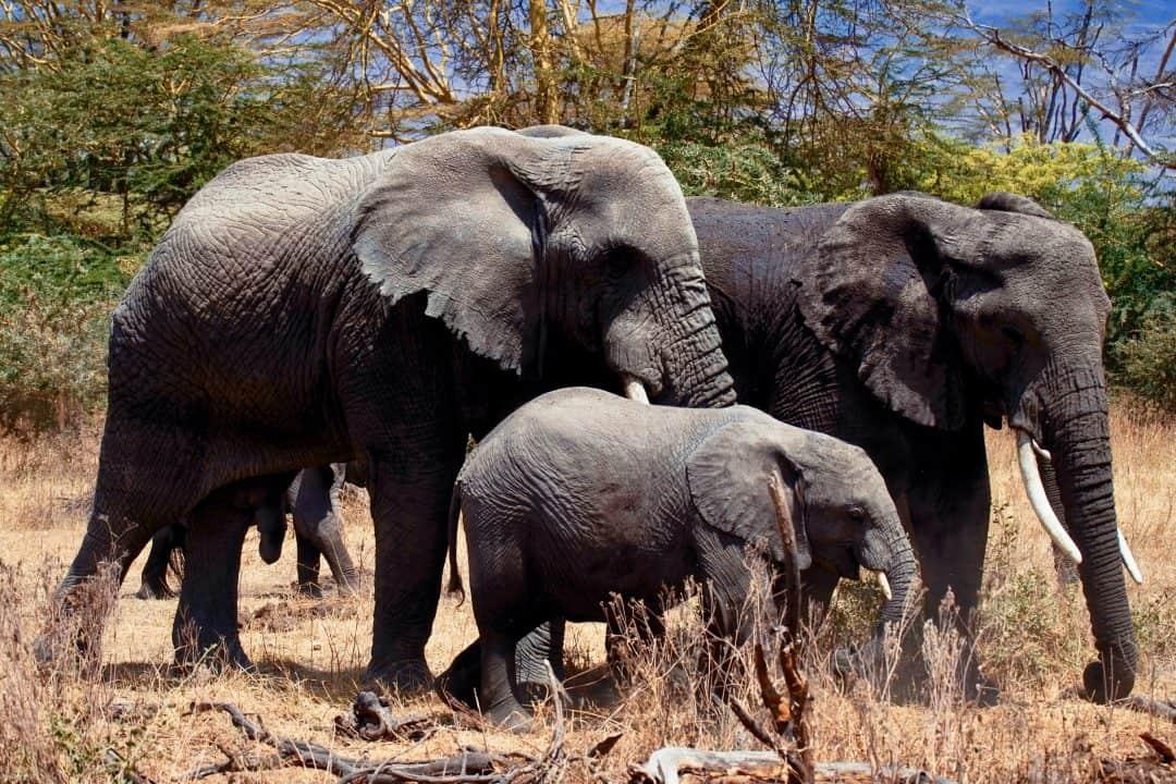 baby elephants facts