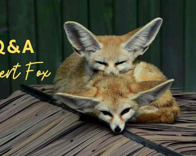 fennec fox, desert fox