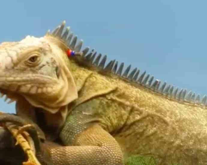 iguana long body