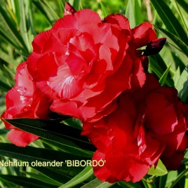 Nerium  oleander 'Bíbordó' –  telt bordó leander XXL méret