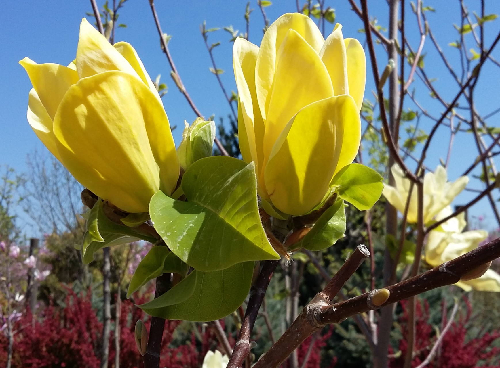 Magnolia  brookliniensis 'Yellow Bird'