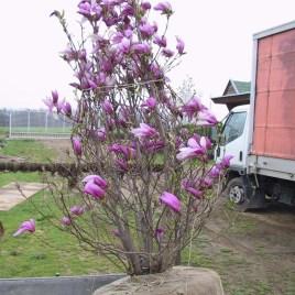 Magnolia Liliflora 'Betty' XXXL – Betty liliomfa bokor  NAGY!