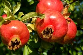 Punica granatum 'Üzbég' – termő gránátalma