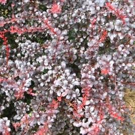 Berberis thumbergii 'Dart's Red Lady' – kis növésű vérborbolya