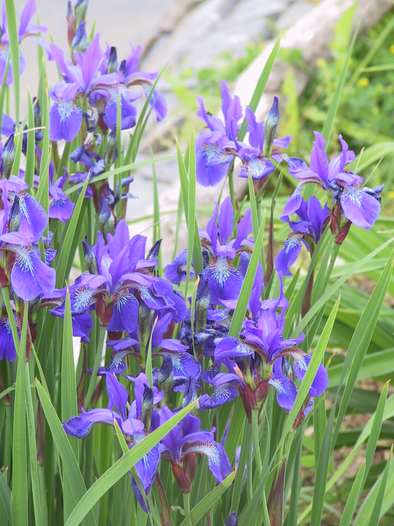 Iris sibirica – szibériai nőszirom