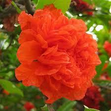 Punica granatum 'Peony Magic' – telt virágú gránátalma