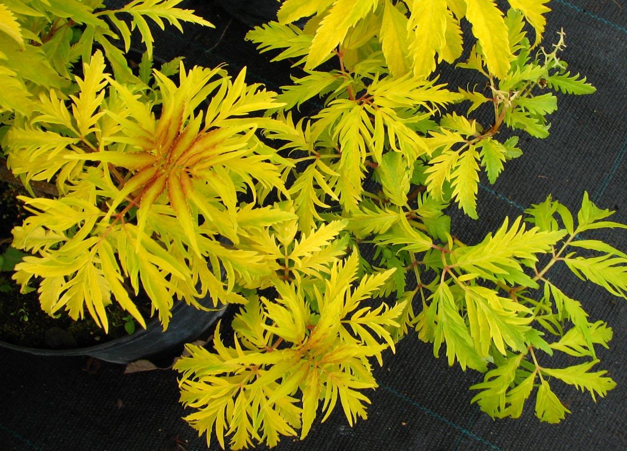 Sambucus racemosa 'Plumosa Aurea' – aranycsipkés fürtös bodza