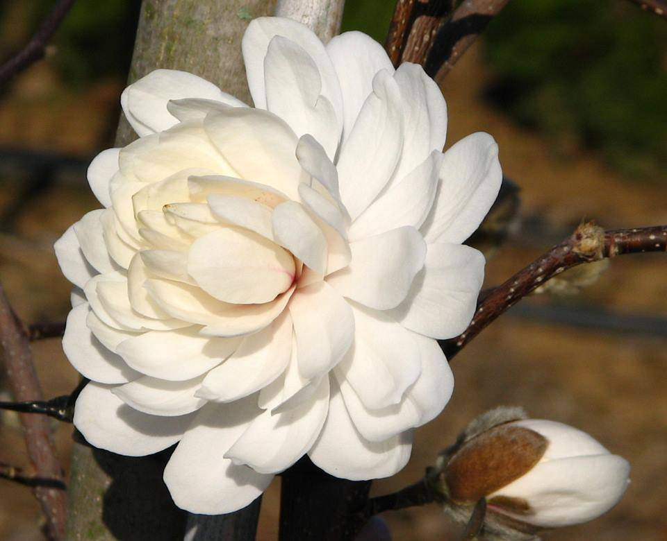 Magnolia  stellata 'Wildcat' – telt virágú liliomfa