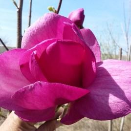Magnolia x Kleopátra – Kleopátra Liliomfa ÚJDONSÁG!