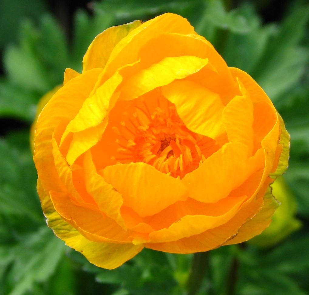 Trollius x cultorum 'Orange Princess' –  hibrid zergeboglár