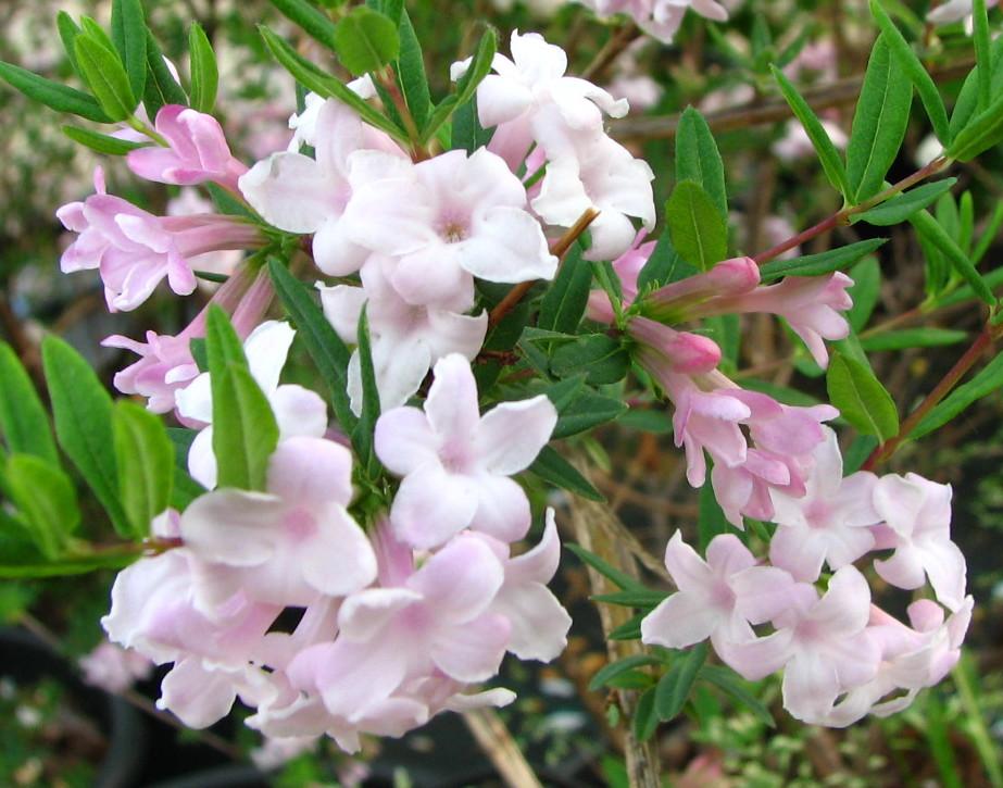 Lonicera  syringantha – orgona virágú lonc
