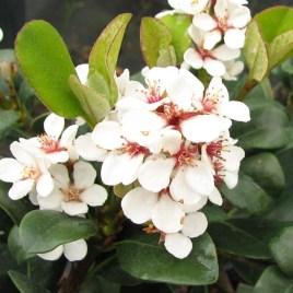 """Raphiolepis indica  – """"indián""""galagonya"""