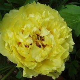 Paeonia x ITOH hibrid 'Yellow Crown' –  hibrid pünkösdirózsa ÚJDONSÁG!