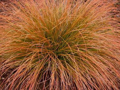 Carex testacea 'Prairy Fire' – narancs színű, bőrlevelű sás