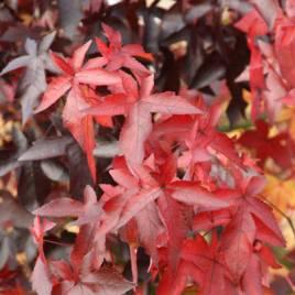 Liquidambar styraciflua 'Worplesdon' –   szeldelt levelű ámbrafa