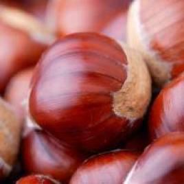 Castanea satíva – szelídgesztenye