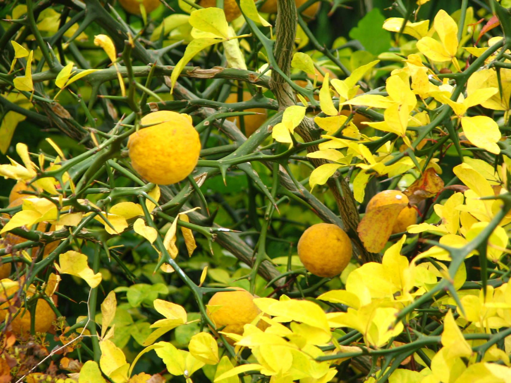 Poncirus trifoliata  – Háromlevelű vadcitrom