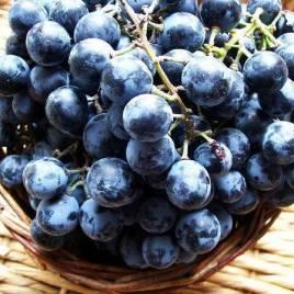 """Vitis labrusca x Vitis vinifera 'Othello' – Othello szőlő  """"Régiség"""""""