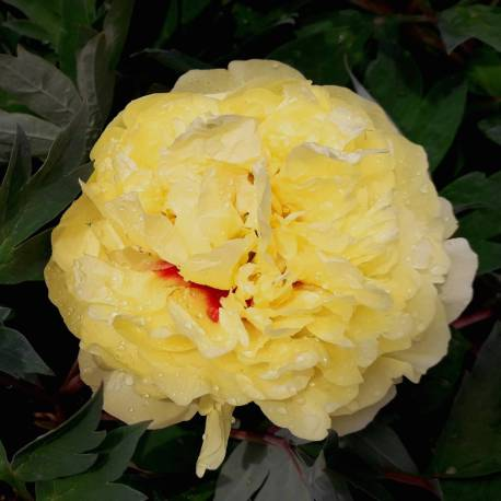 Paeo. ITOH Yellow Crown