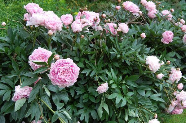paeonia-lactiflora-sarah-bernhardt_