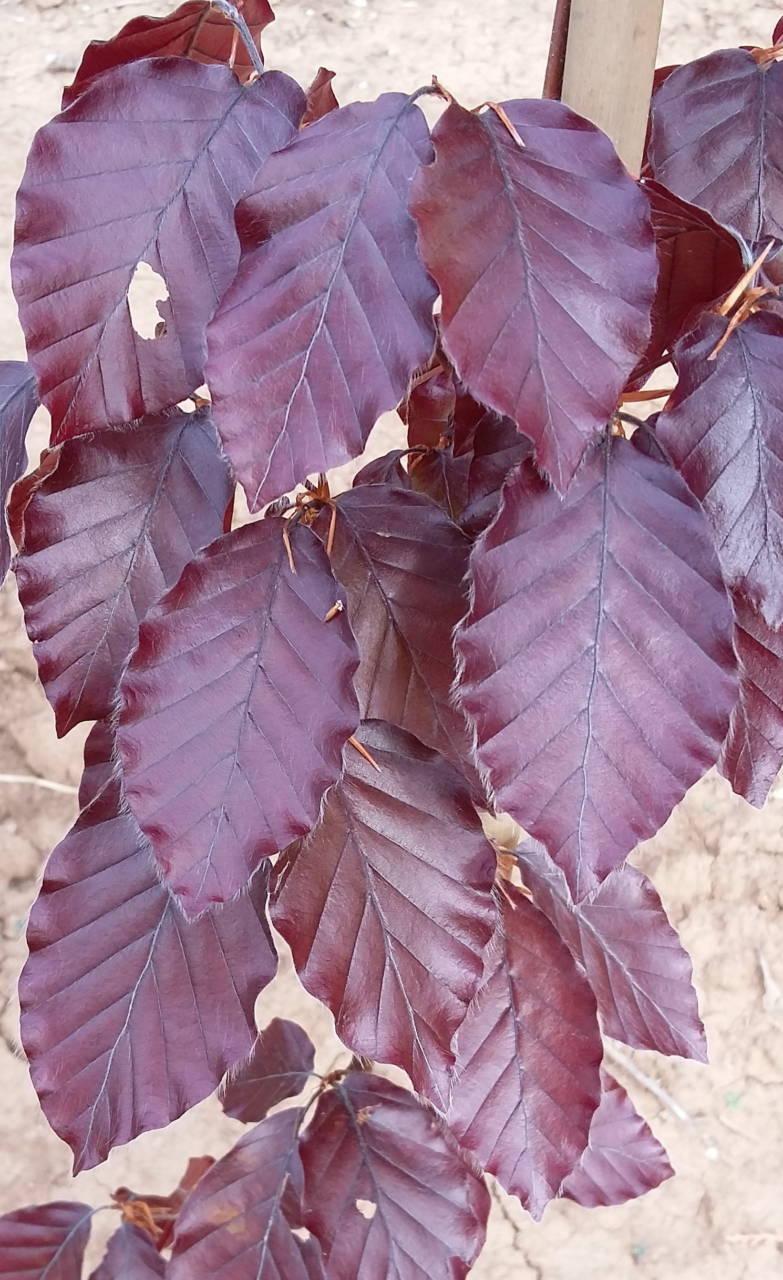 Fagus sylvatica atropurpurea  –  vérbükk fa