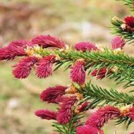 Picea abies  'Rydal' – Rydal bíbor luc fenyő  ÚJDONSÁG!