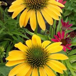 Echinacea x 'Cheyene Spirit' –   Cheyene Spirit  kasvirág színkeverék