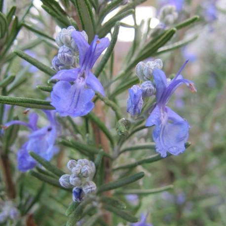 Rosemary_in_bloom